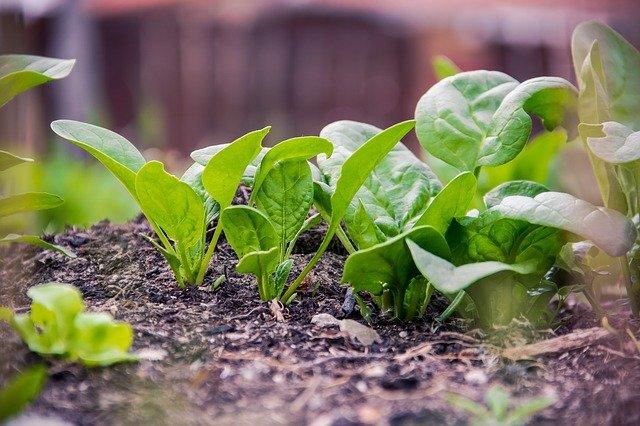 tanaman sayuran bayam