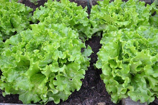 tanaman sayuran selada
